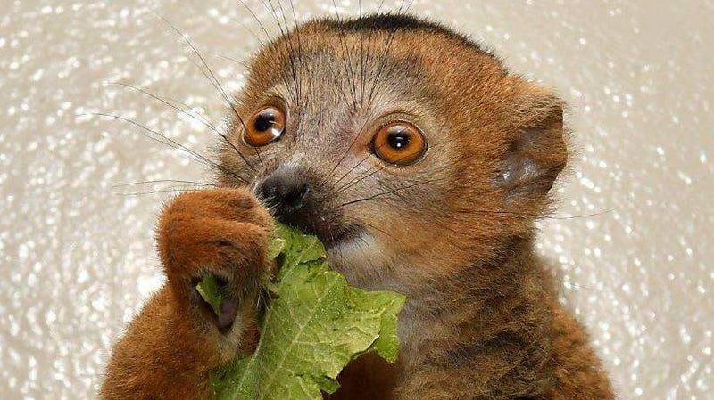 Donate Your Old Android Phone to Help Lemur Research