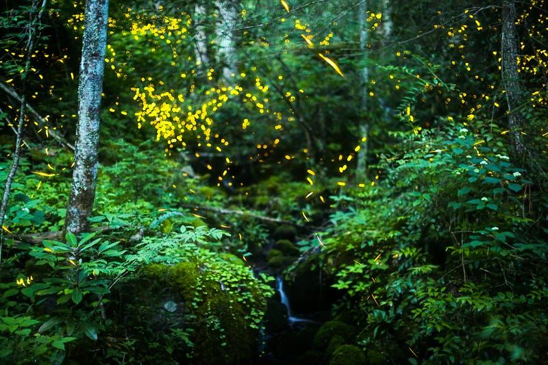 Illustration for article titled The Synchronous Fireflies Of The Smokies Are A Sight Unlike Any Other
