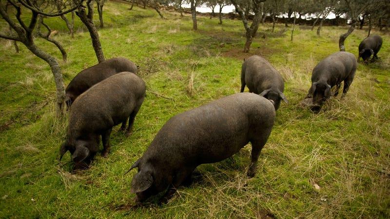 Iberian pigs grazing on acorns at the farm Faustino Prieto in the village of Cespedosa, Spain, in 2012.