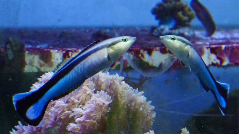 A cleaner wrasse looking at itself in the mirror.