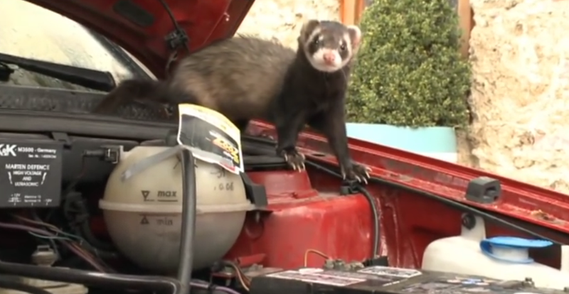 A Marten getting ready to ruin this car's rubber and plastic bits. Image: Abenteuer Auto/YouTube (screengrab)