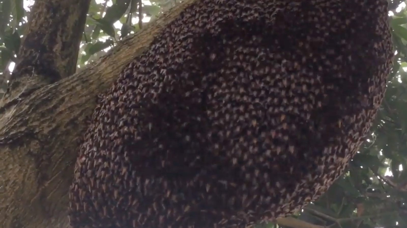 Honey Bees' Oddly Hypnotizing 'Shimmering' Is Actually a Clever Defense