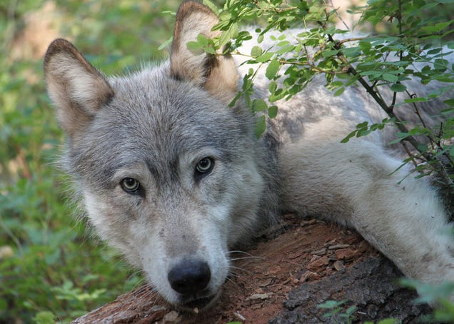 Birth of 3 Wolf Pups Means Colorado Has Its First Native Wolves Since the 1940s