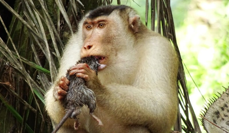 Nomnomnom: A southern pig-tailed macaque consumes a rat.