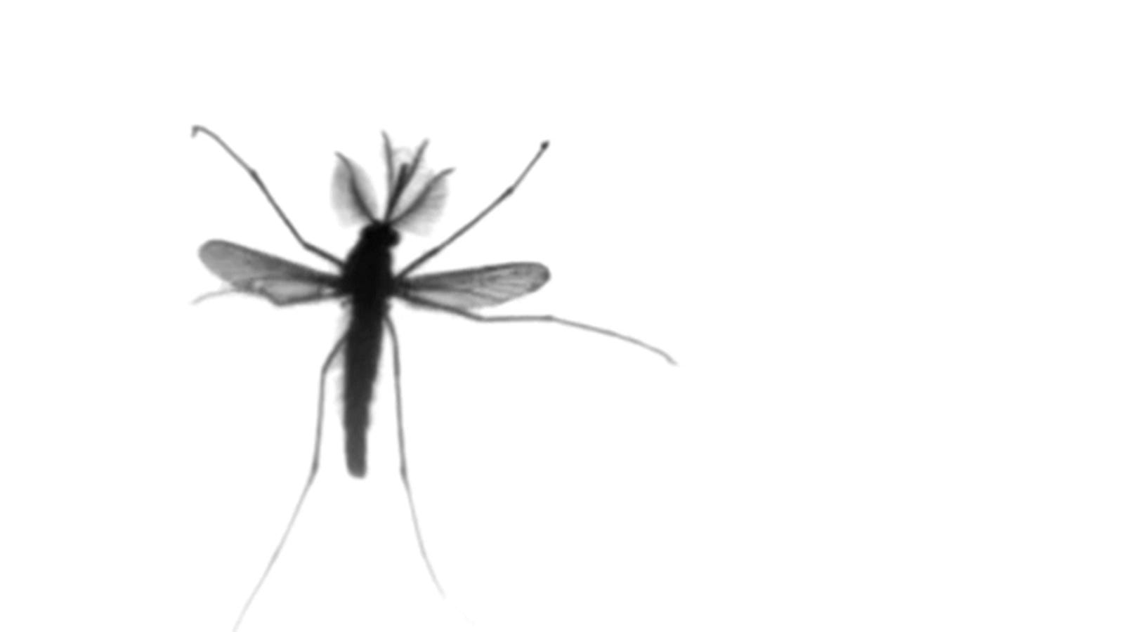 Scientists Find That Mosquito Flight Is Unlike Anything Else