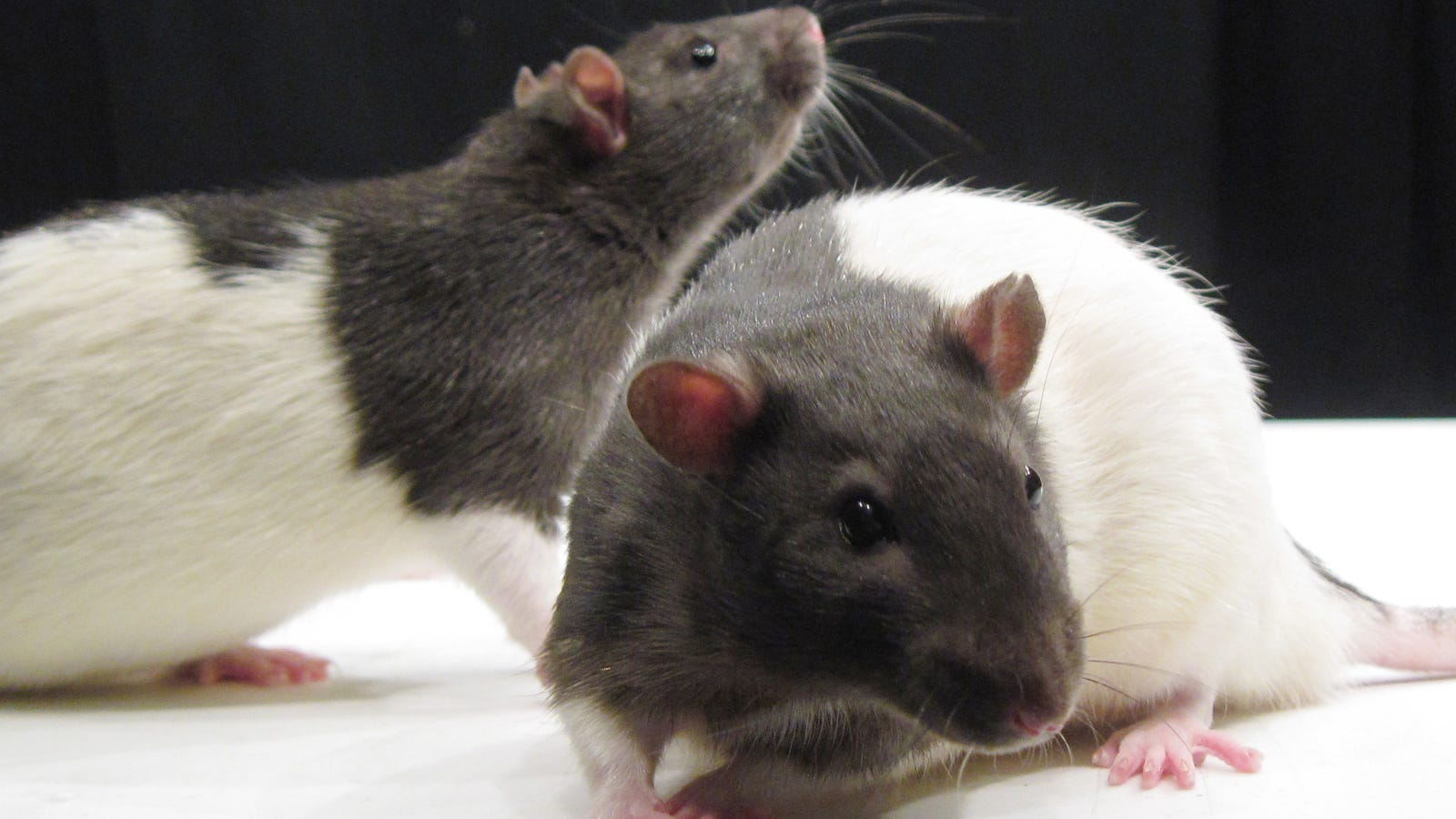 A Rat Study Finds that Acupuncture Can Treat Alcohol Addiction... in Rats