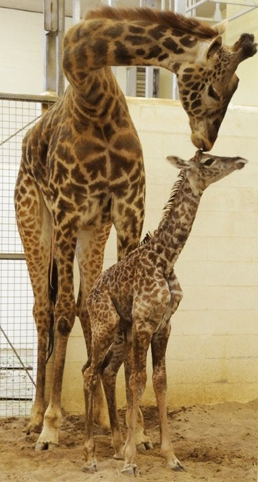 Illustration for article titled Cincinnati Welcomes First Baby Giraffe In 26 Years