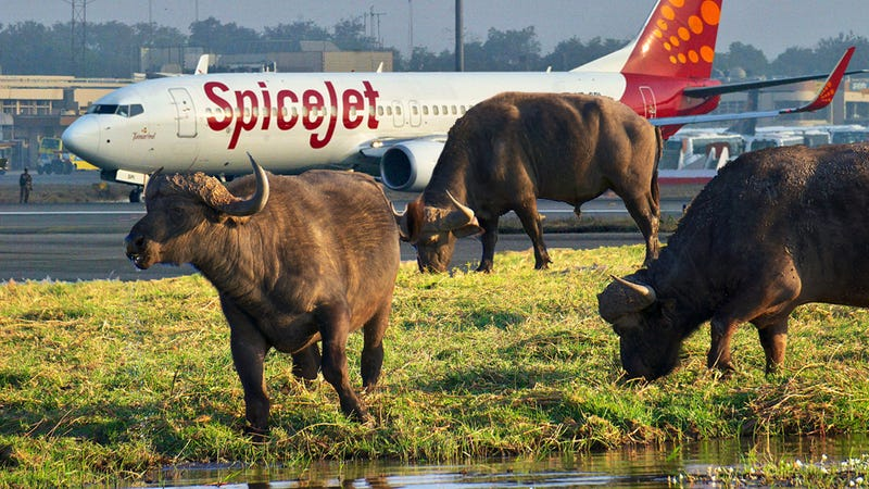 Illustration for article titled An Airliner Crashed Into A Sneaky Buffalo