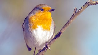 Robins Can Actually See Magnetic Fields (But Only in One Eye)