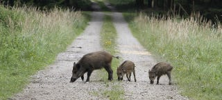 Illustration for article titled Radioactive boars from Chernobyl are still wandering around Germany