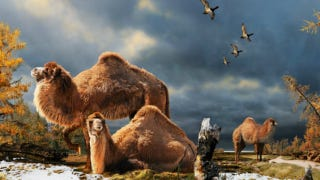 Illustration for article titled How Camels Evolved Their Humps — In Northern Canada