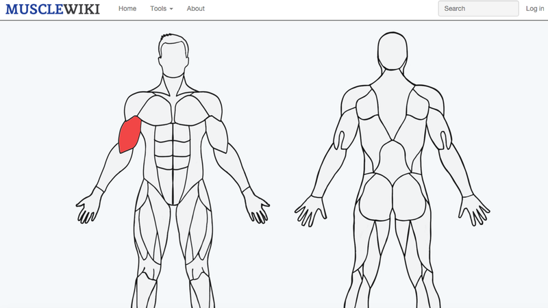 musclewiki helps you discover new exercises for specific muscle groups, Human Body