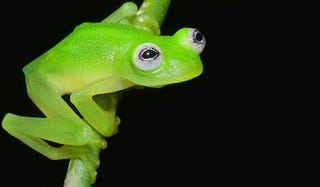Illustration for article titled Newly discovered frog species looks a lot like Kermit the Frog
