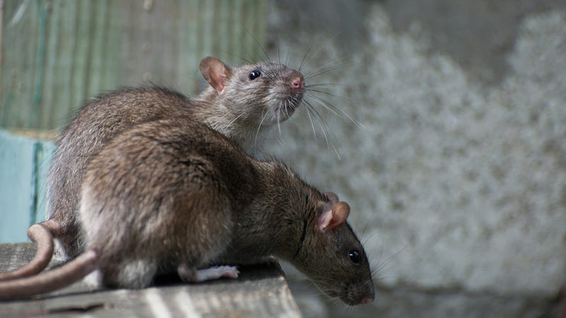 Illustration for article titled The Rats Have Already Won New York