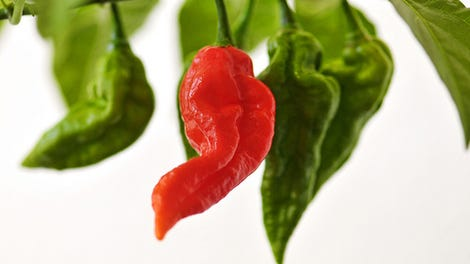 World's Hottest Pepper' Will Have You Breathing Fire, But It Won't