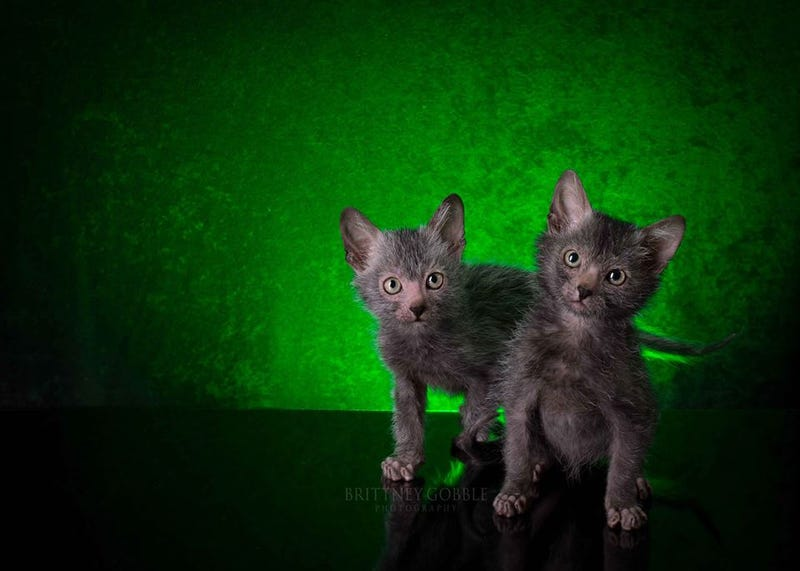 """Illustration for article titled The New """"Werewolf Cat"""" Highlights The Complicated Ethics of Breeding"""
