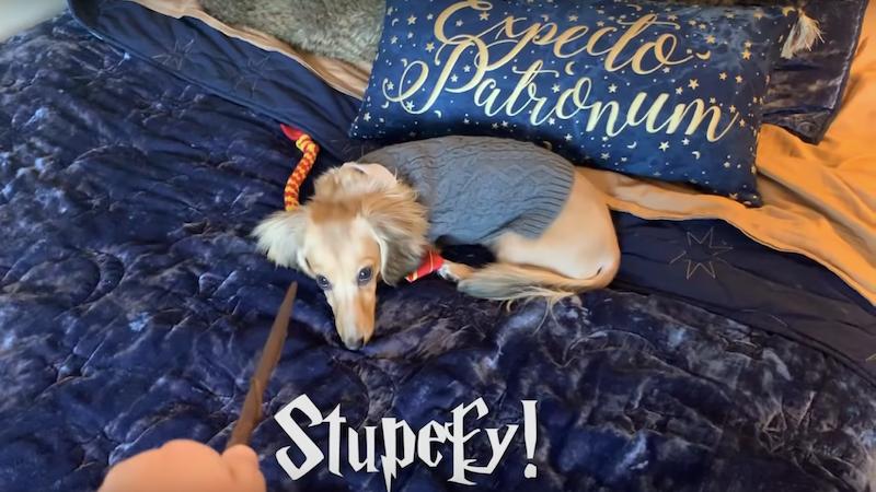 Este perro se llama Remus y su dueña le ha enseñado a seguir órdenes con conjuros de Harry Potter.