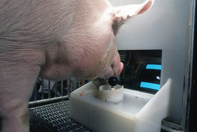 Video Game-Playing Pigs Stretch Our Concepts of Animal Intelligence
