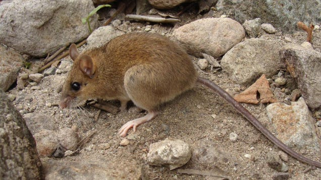 'Extinct' Volcano Mouse Is Actually Doing Fantastic