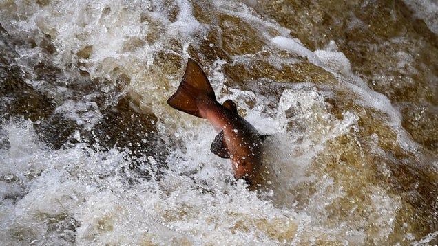 Missing: 50,000 Salmon