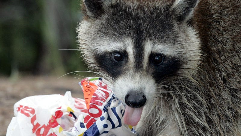 A raccoon licks his lips while eating a stolen bag of sandwiches Wednesday afternoon June 22, 2005 at Fort DeSoto Park in St. Petersburg, Fla.