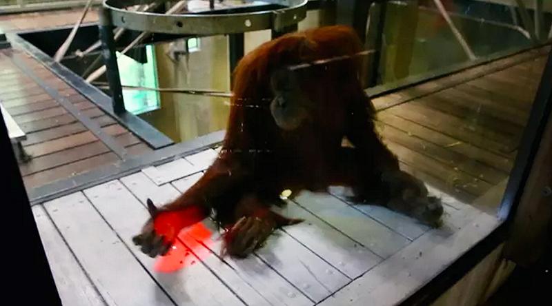 Illustration for article titled Videojuegos para simios: los orangutanes del zoo de Melbourne aprenden a jugar con Kinect