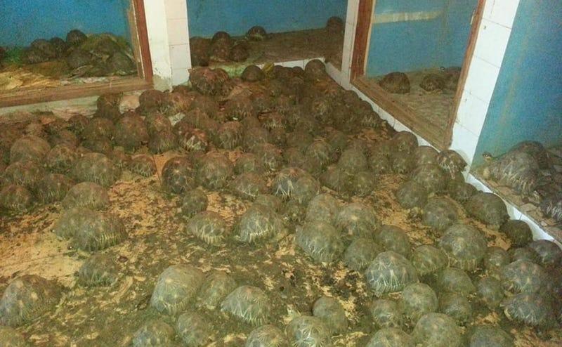 Illustration for article titled Un olor espantoso conduce a la policía hasta una casa donde escondían 10.000 tortugas en peligro de extinción