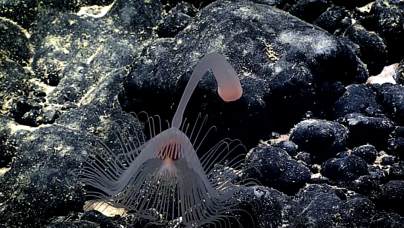 A hydroid exploring Leoso Seamount. (Image courtesy of the NOAA Office of Ocean Exploration and Research, 2017 American Samoa)