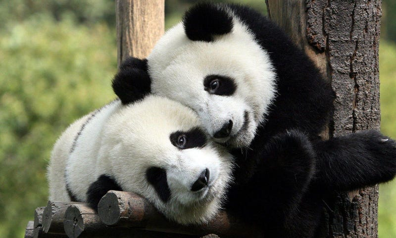 This study was in humans, not pandas, but aren't these pandas great?