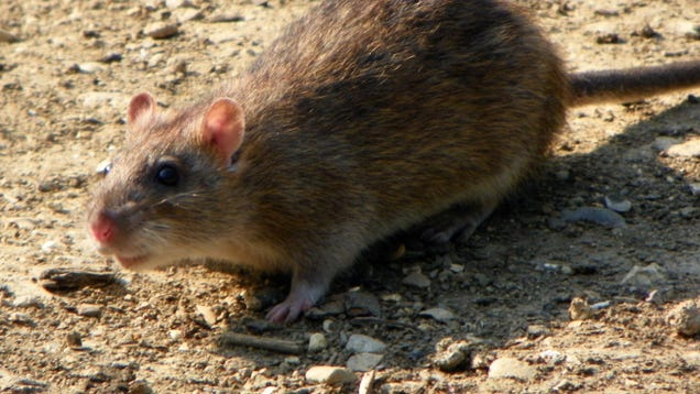 Genius  Rats Are Flooding DC and Adapting Too Fast to Control