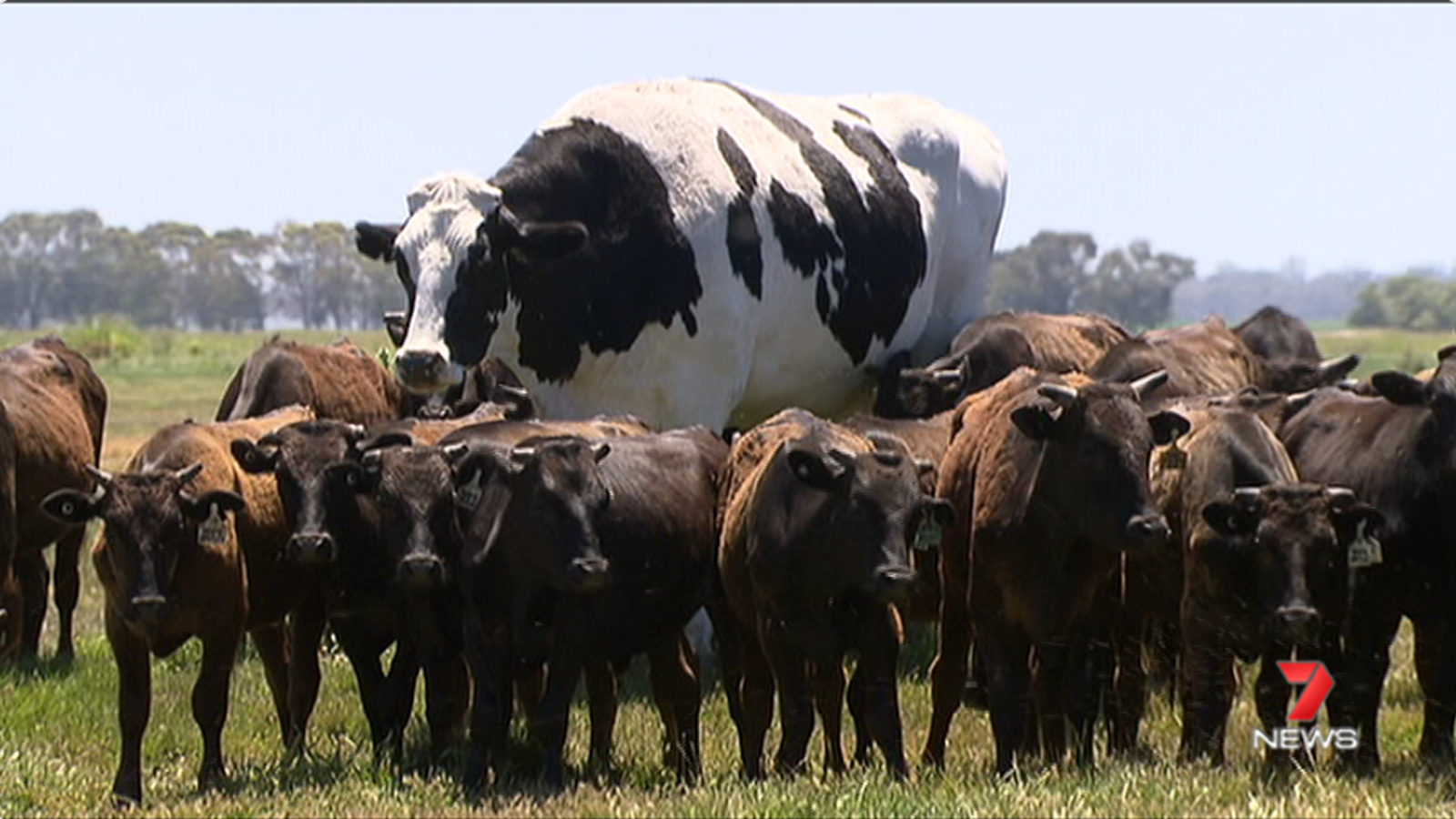 This HUMUNGOUS Cow