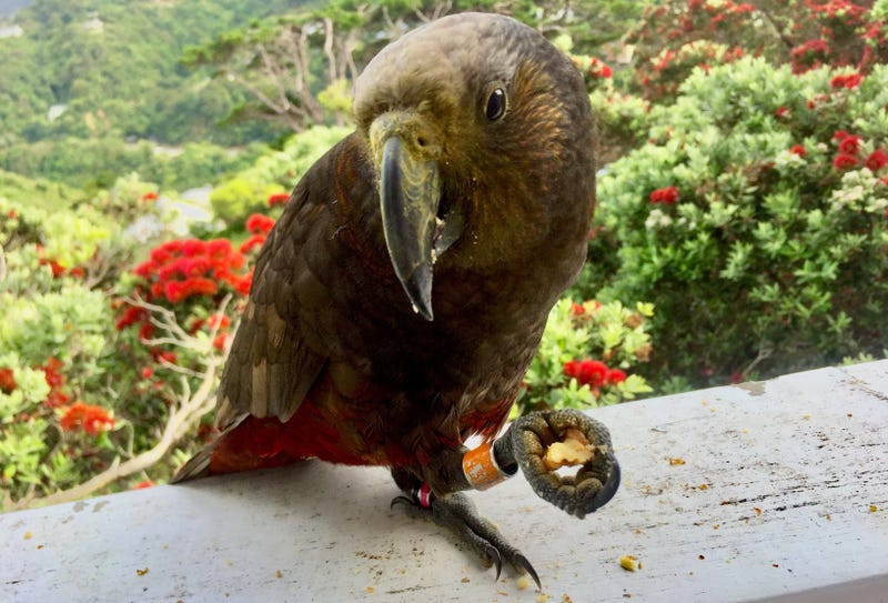 A Kaka parrot that frequents my mom's balcony in Wellington, New Zealand. Image: Kristen V. Brown