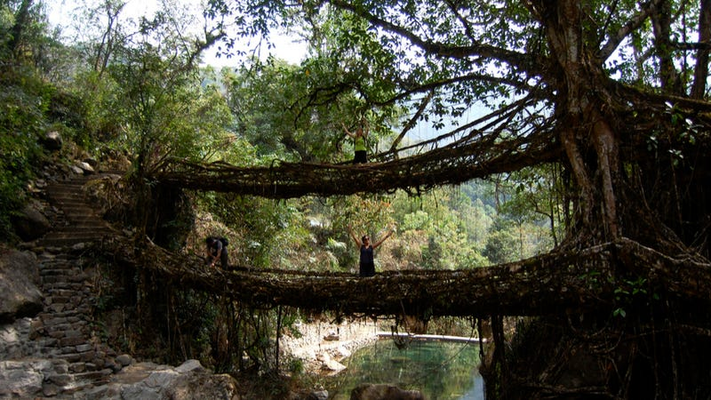 Illustration for article titled This ancient bridge is engineered from living trees