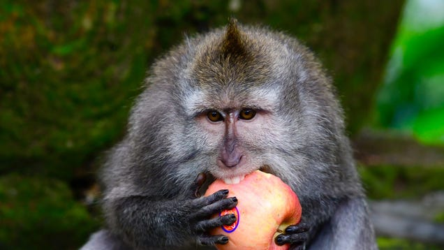 These Monkeys Understand Economics and Intentionally Steal High-Ticket Items to Barter for Better Food, Study Finds