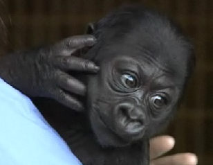 Illustration for article titled Bebe Gorilla Needs A Name