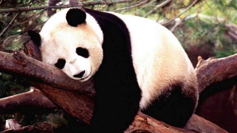 Illustration for article titled Do pandas hold the key to reducing US reliance on foreign oil?