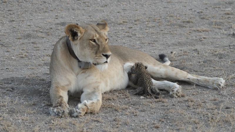 Photo Courtesy of Joop Van Der Linde / Ndutu Safari Lodge / KopeLion