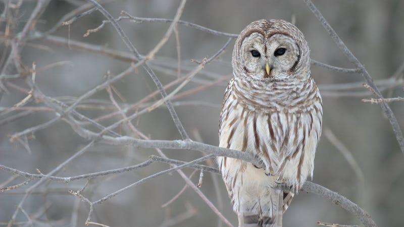 Wikipedia photo by Mdf https://en.wikipedia.org/wiki/Barred_owl#/media/File:Strix-varia-005.jpg