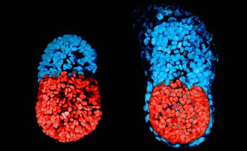 An artificial mouse embryo after 48 hours (right) and 96 hours (left). Image: University of Cambridge