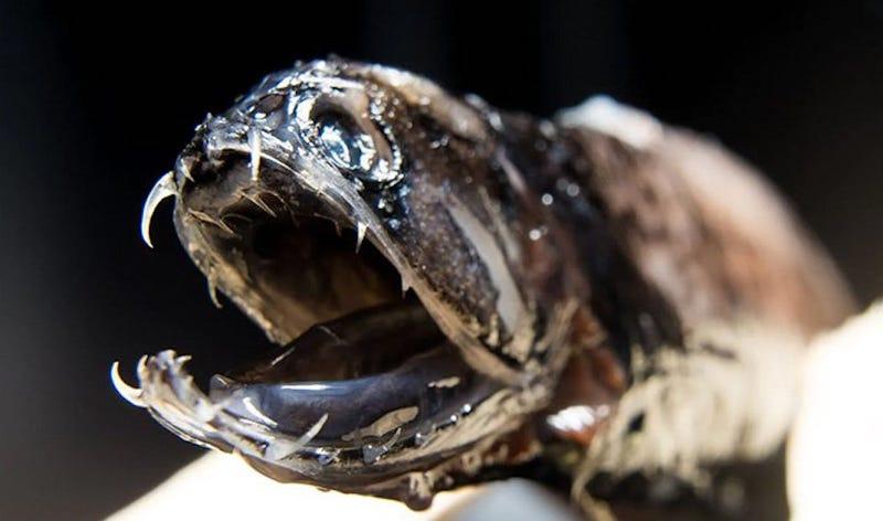 Illustration for article titled Esta criatura de aguas profundas tiene sus dientes afilados como cuchillos casi invisibles