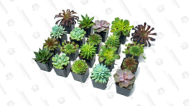 Succulent Plants (20 Pack) | $36 | Amazon