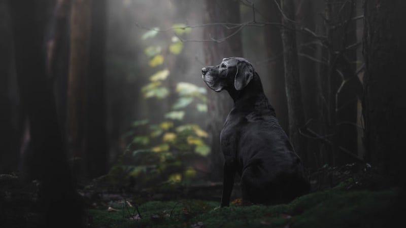 Noa (gran danés) en un bosque de los Países Bajos
