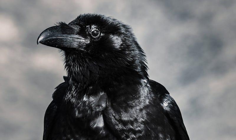 Illustration for article titled Los cuervos son capaces de sentir empatía hasta el punto de que se indignan cuando ven a otro cuervo enfadado