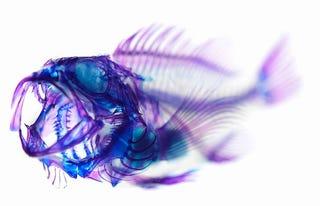 Illustration for article titled Transparent Specimens: Making Flesh Invisible