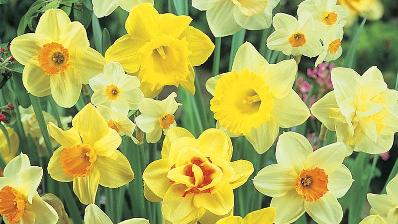 Burpee's Naturalizing Mix Daffodils - 150 Bulbs | $54 | Amazon