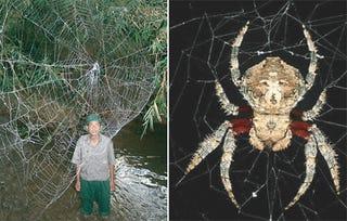 Illustration for article titled Giant Motherf*cking Spiderwebs Stronger Than Kevlar