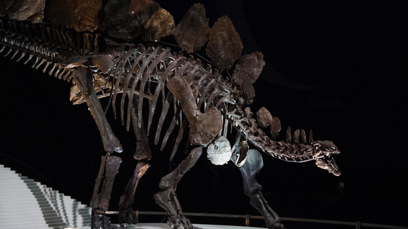 Stegosaurus fossil at the Natural History Museum in London, England. (Photo: AP)