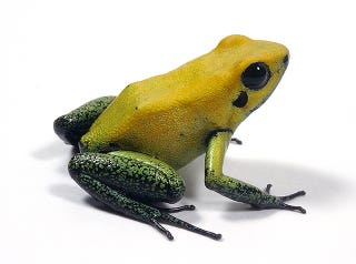 Illustration for article titled This delightful poison frog can quickly kill you!