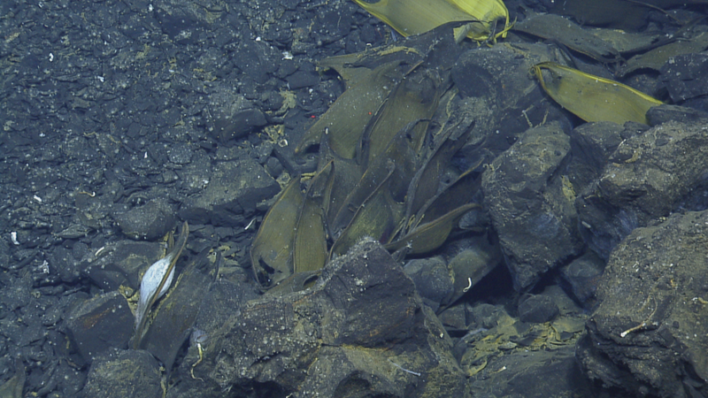 ROV framegrab of Pacific white skate egg sacs near a black smoker in the Galapagos. Photo Courtesy  Ocean Exploration Trust