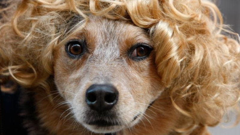 They know you think they look like ridiculous in this wig (Photo: Justin Sullivan/Getty Images)